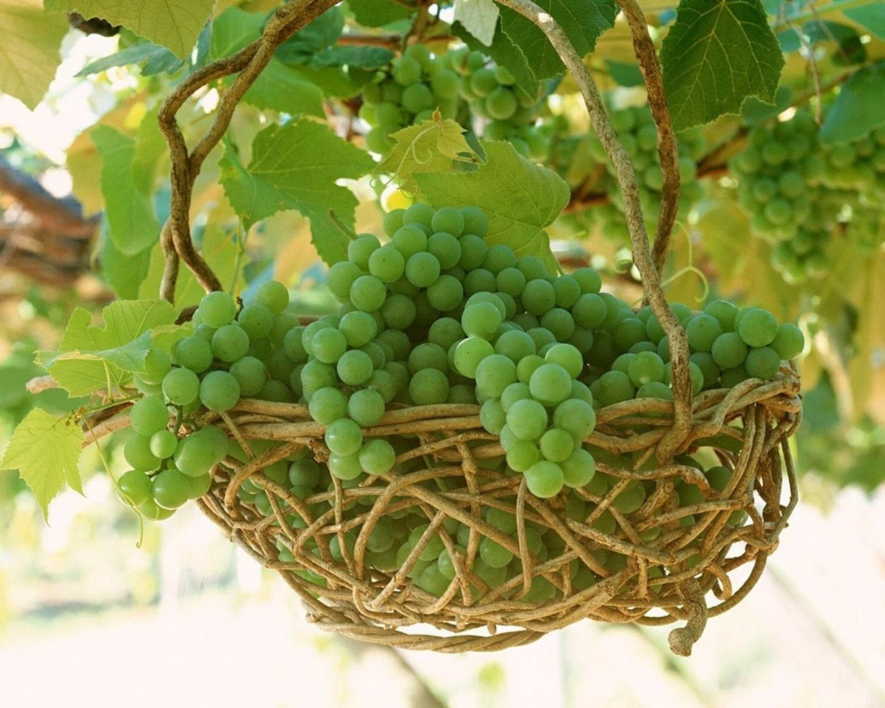 Пьяный виноград