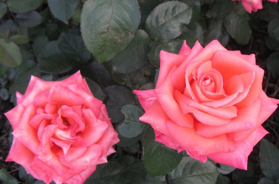 Рецепты наливок из чайной розы дома